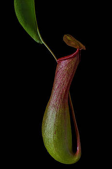 Pitcher Plant by Kelly Anderson