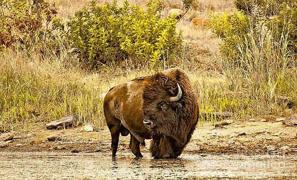 Plains Buffalo At Creekside by Robert Frederick