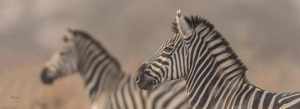 Plains Zebra Stallions on Alert by Fred J Lord
