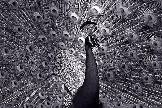 Platinum by Lorenzo Cassina
