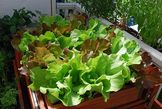 Playful Lettuce in Salad Tray by Steve Masley