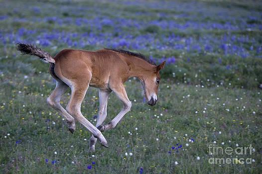 Jean-Louis Klein and Marie-Luce Hubert - Playful Mustang Foal