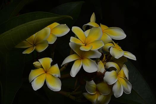 Plumeria Blossoms by Dennis Begnoche
