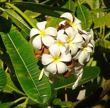 Plumeria Flower by Shara  Wright