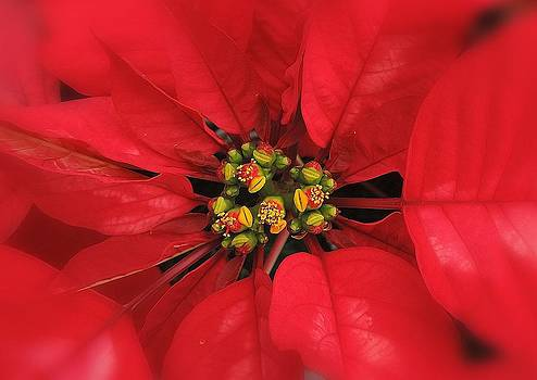Poinsettia by Peggy Stokes