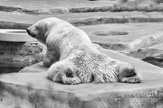 Chuck Kuhn - Polar Bear BW
