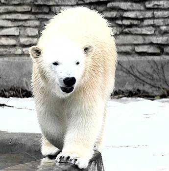 Polar Bear Cub by Kathleen Struckle