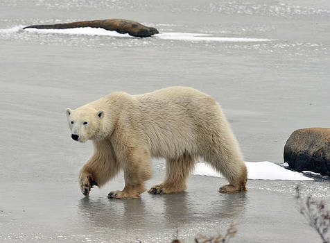 Polar Bear Ice Walking by David Marr