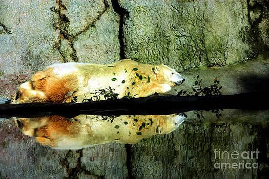 Nick Gustafson - Polar Bear Reflections