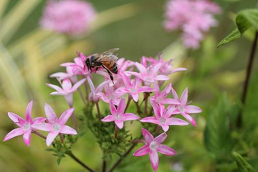 Pollinating Bee by Robert Pennix