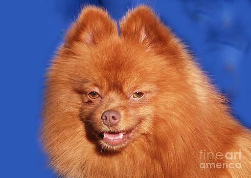 Pomeranian by Carol McCutcheon