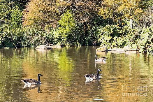 Kate Brown - Pond Geese