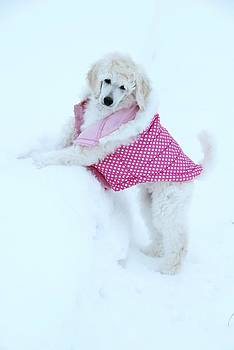 Poodle on the Snowbank by Lisa  DiFruscio