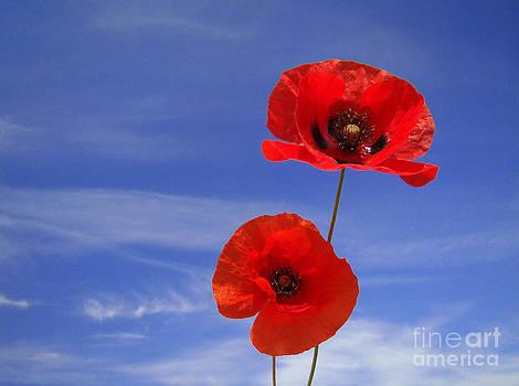 Poppies 02 by Giorgio Darrigo