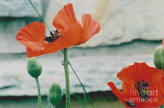 Poppies - 2 by Jackie Mueller-Jones