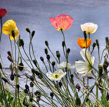 Poppies by Dana Patterson