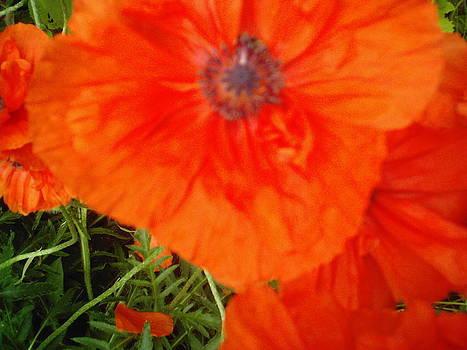 Poppies by Daniel Weaver
