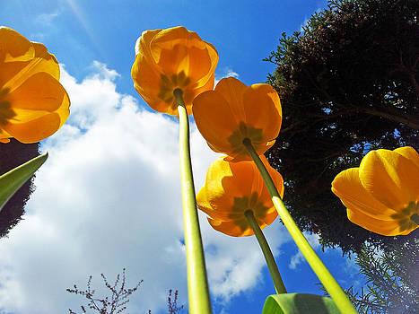 Poppies by David Valentyne