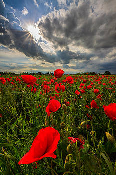 Poppies by Davorin Mance