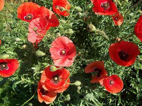 Poppies by Galina Todorova