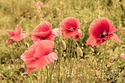 Poppies in the summer light by Hannes Cmarits