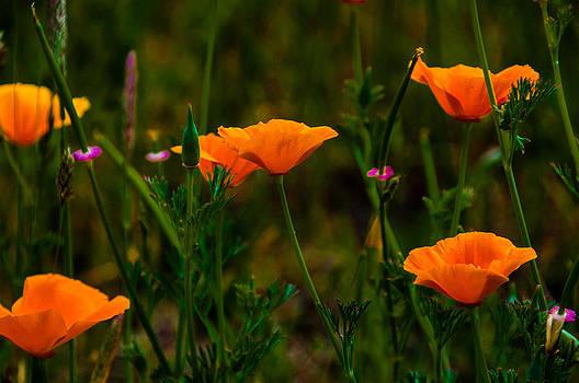 Poppies by Larry Goss