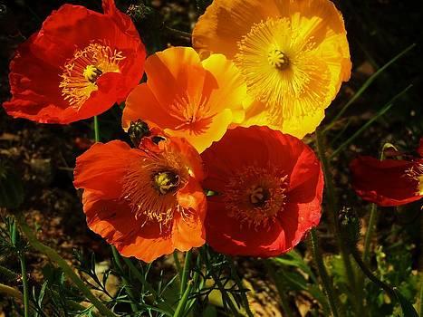 Poppy Bouquet by Helen Carson