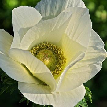 Byron Varvarigos - Poppy-Flowered Anemone