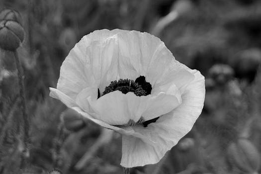 Poppy in Black and white by GK Photography