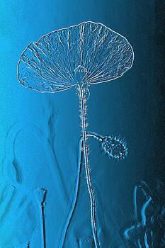 Poppy in blue by Erik Tanghe