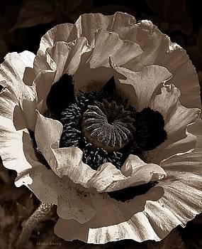 Chris Berry - Poppy in Browns