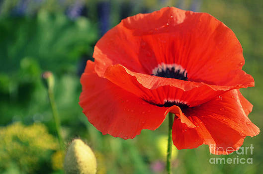 Poppy Love by Kiana Carr
