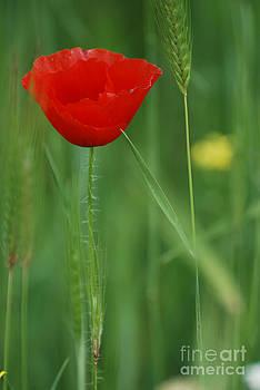 Poppy by Mariana Atanasova
