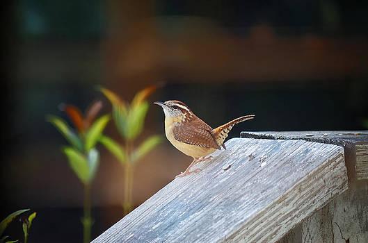 Porch Wren by Sarah Barber