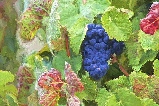 David Letts - Port Wine Grapes