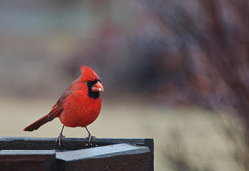 Portrait of a Cardinal by Lisa Moore
