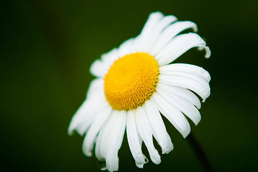 Portrait of a Daisey by Matt Dobson