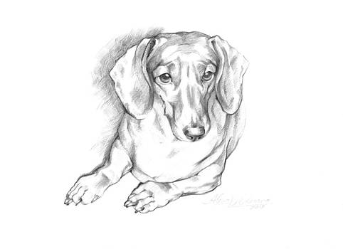 Portrait of a Laying Dachshund by Alena Nikifarava