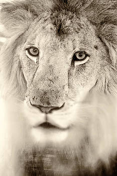 Portrait of a Lion by Stephanie Hayes