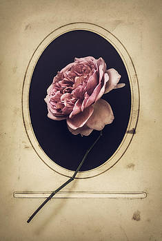 Portrait of a Rose by Amy Weiss