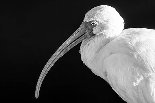Lynn Palmer - Portrait of an Ibis BW
