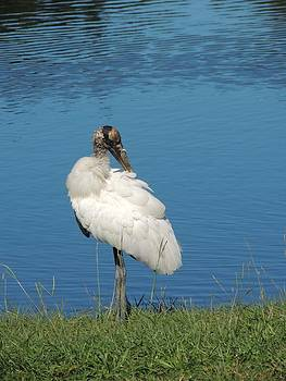 Posing Wood Stork by Judy  Waller