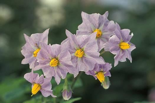 Tracey Harrington-Simpson - Potato Flowers