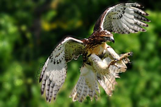 Pouncing Hawk by Bev  Brown