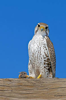 Prairie Falcon with Mouse by Stephen  Johnson