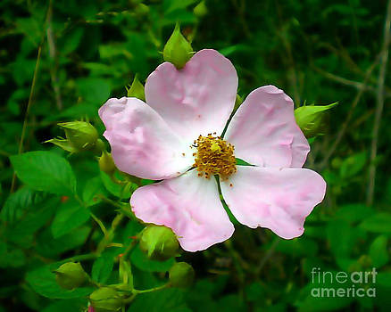 Prairie Rose by JJ McLerran