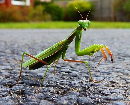 Praying Mantis by Carolyn Cable