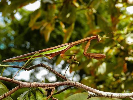 Praying Mantis by Heather Sylvia