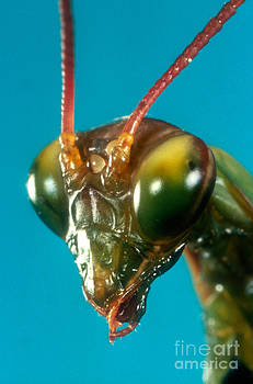 Jerome Wexler - Praying Mantis Mantis Religiosa Head