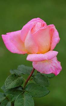 Rosanne Jordan - Precious Pink Rose